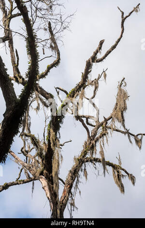 Old dead oak tree with moss and fern covered branches. - Stock Image