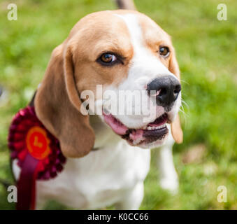 The Barlow Hunt Dog Show - portrait of a family pet Beagle dog with his rosette for winning his class - Stock Image