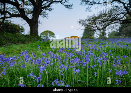 Bluebells at dawn in South Downs National Park, West Sussex, England. - Stock Image