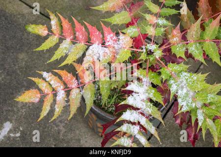 Evergreen shrub Mahonia japonica with autumn winter foliage, December, England UK - Stock Image