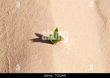 Overhead view of a plant growing in the desert, Jordan - Stock Image