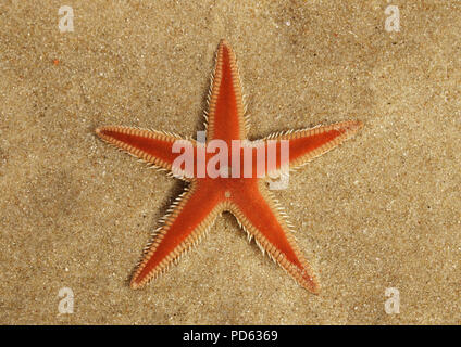 Orange Comb Starfish (Astropecten sp.) aboral surface overview on the sand and under a thin, transparent, layer of clear water. Lagoa de Albufeira bea - Stock Image