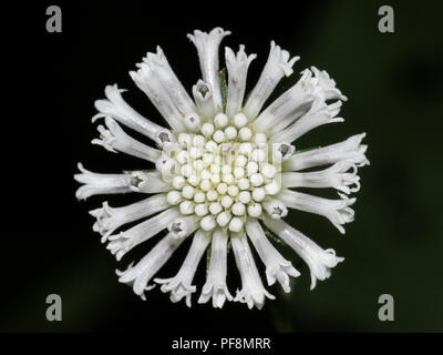 A close-up of Barbara's buttons flowers. - Stock Image