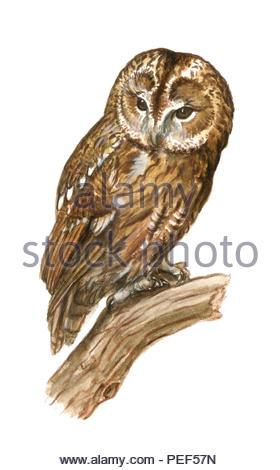 little owl strix aluco - Stock Image