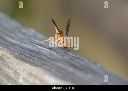 Wasp on wood - Stock Image