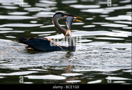 A great blue heron swims to shore with a fresh meal at Lake Windsor in Bella Vista, Arkansas, U.S.A. - Stock Image