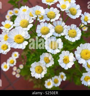Feverfew flowers in bloom - Stock Image