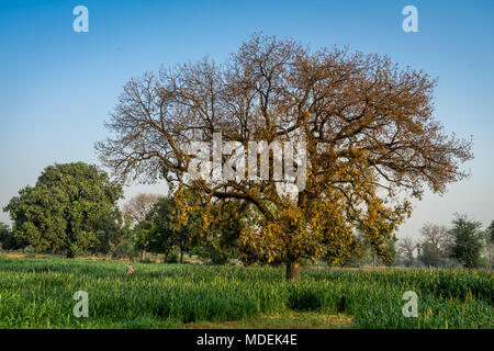 Place: Near Goghra, Gujarat, India, Date: April-8-2018. Photo of a unknown farmer working in field with large tree and crop. - Stock Image