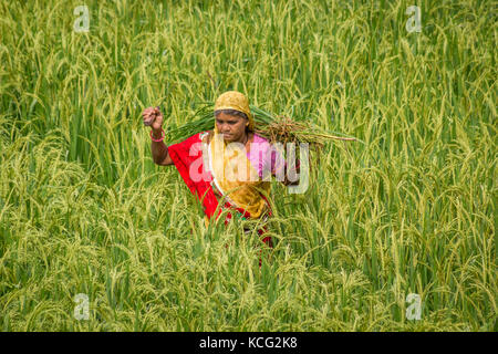 Agriculture Worker in paddy farm captured in monsoon. - Stock Image