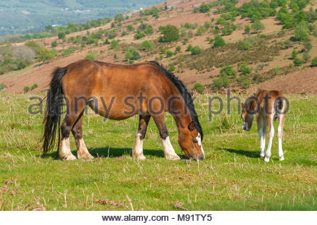 Welsh Mountain Ponies, a pony and foal, grazing at Mynydd Llangatwg, in the Brecon Beacons National Park, Powys, Wales, UK – spring. - Stock Image