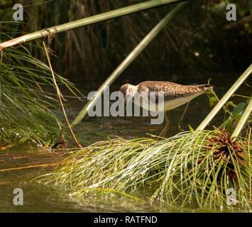 stint or sandpiper, Charadriiformes, Scolopacidae, Mabamba swamp, Lake Victoria, Uganda - Stock Image