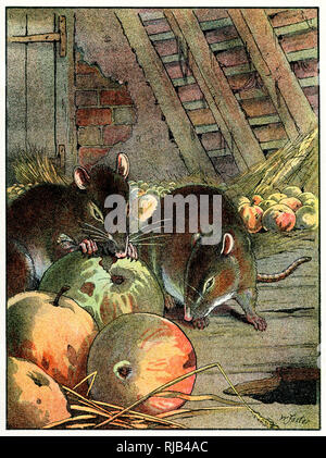 Rats in a barn nibble on some apples. - Stock Image
