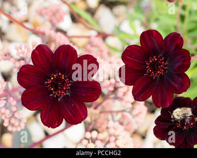 Dark red, chocolate scented flowers of the summer blooming half hardy tuberous perennial, Cosmos atrosanguineus - Stock Image