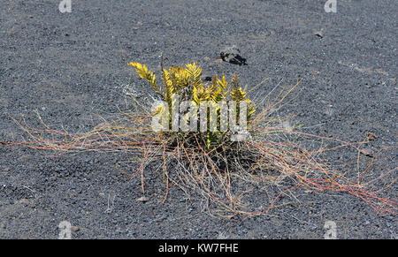 Pioneer species of plants including cacti, ferns and lichens begin to appear on the bare black lava slopes of the - Stock Image