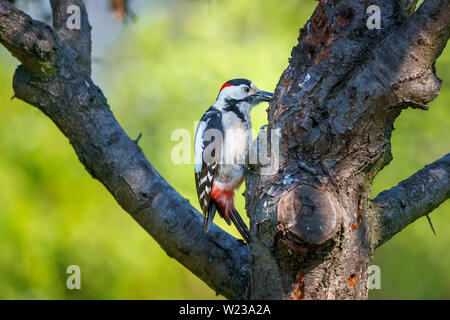 Great spotted woodpecker (Dendrocopos major) perching on a tree trunk, Koros-Maros National Park, Bekes County, Hungary - Stock Image