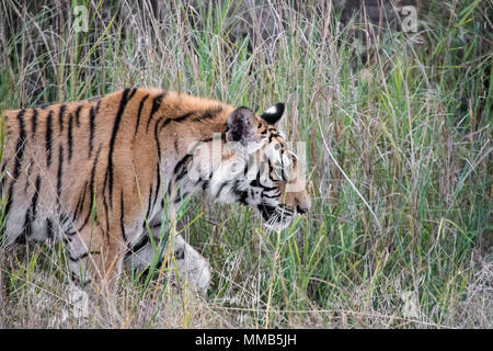 Two year old male Bengal Tiger, Panthera tigris tigris,side view, walking in the Bandhavgarh Tiger Reserve, Madhya Pradesh, India - Stock Image