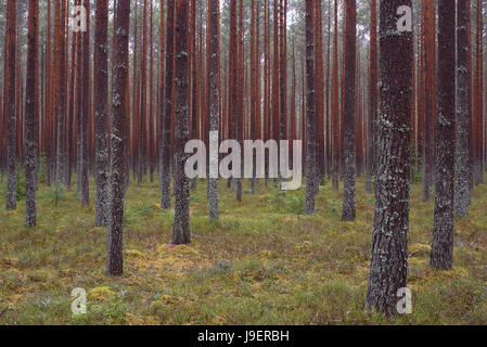 Pinewood In Alam-Pedja Nature Reserve, Estonia. 29th April 2017 - Stock Image