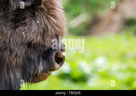 European bison (Bison bonasus) close view on nose , copy space background. - Stock Image