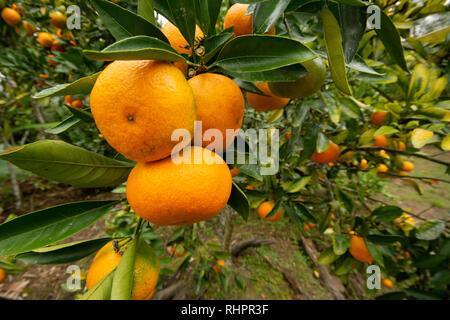 Ripe Mandarin Oranges growing on a tree - Stock Image