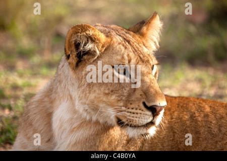 Tanzania, Serengeti. A young lioness. - Stock Image