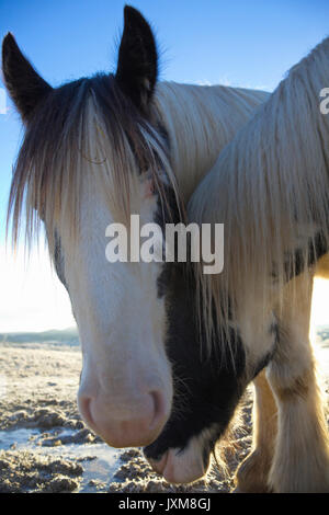 Close up photograph of two Tinker horses on a frosty pasture under a cloudy sky in Anundsjoe, Sweden. - Stock Image