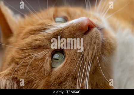 Portrait of domestic ginger cat with green eyes - Stock Image