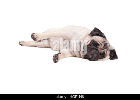 lovely cute pug puppy dog lying down on floor, isolated on white background - Stock Image