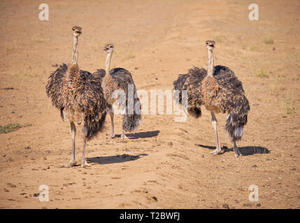 Juvenile ostrich standing in dirt field, looking towards viewers - Stock Image
