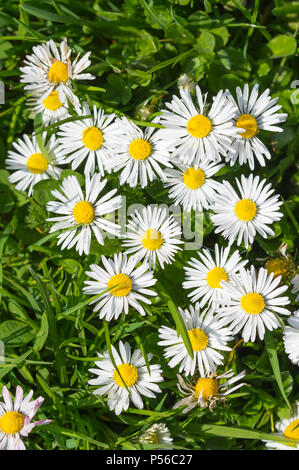 Looking down on Common Daisies (Bellis perennis) growing in Spring in the UK. Common Daisy. - Stock Image