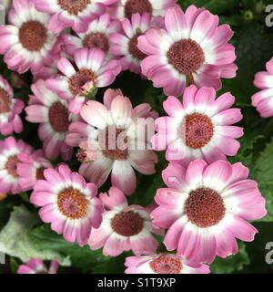 Pink Cineraria flowers in garden bed - Stock Image