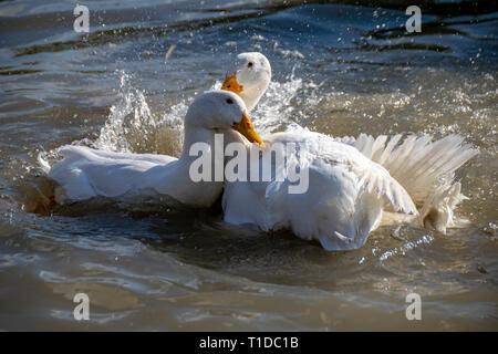 White pekin ducks mating - Stock Image