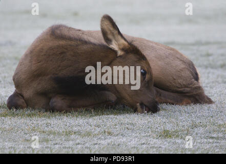 Autumn elf calf nibbles, while lying down, at frosted grass.  Location is Banff, Canada, in September of 2017. - Stock Image