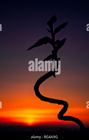 The silhouette of a flower against a sunset, Sweden - Stock Image