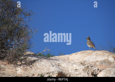 Thekla's lark (Galerida theklae) perched on a stone rock in Agadir, Morocco - Stock Image