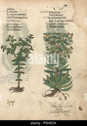 Caper spurge, Euphorbia lathyris, and wolfsmilk spurge, Euphorbia esula. Handcoloured woodblock engraving of a botanical illustration from Adam Lonicer's Krauterbuch, or Herbal, Frankfurt, 1557. This from a 17th century pirate edition or atlas of illustrations only, with captions in Latin, Greek, French, Italian, German, and in English manuscript. - Stock Image