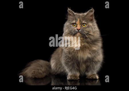 Cute Munchkin Cat tortoise fur, Sitting and Looking in camera Isolated Black background, front view - Stock Image