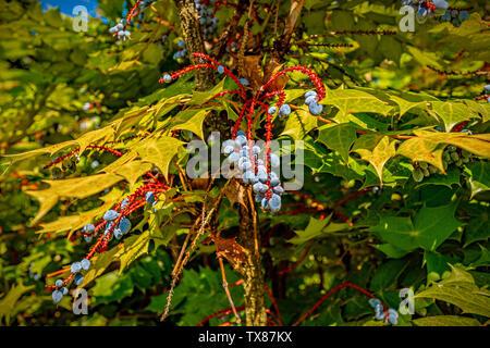 Italy Piedmont Turin Valentino botanical garden - Barberidaceae - Mahonia aquifolium Nutt. - hollyleaved barberry - Stock Image