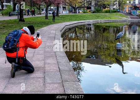 Berlin Mitte. Grey heron, Ardea Cinerea, man takes photo on smart phone of bird in pond in public park, Volkspark am Weinbergsweg - Stock Image