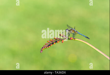 Blue Dasher dragonfly (odonata) resting on a lucifer flower - natural green background - Stock Image