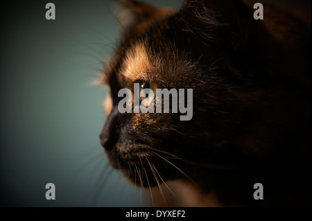 Close-up of tortoiseshell cat, Australia - Stock Image