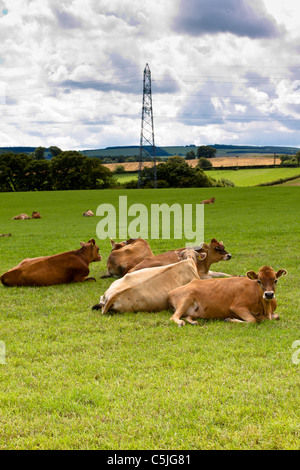 jersey calf's lying down in countryside meadow. - Stock Image