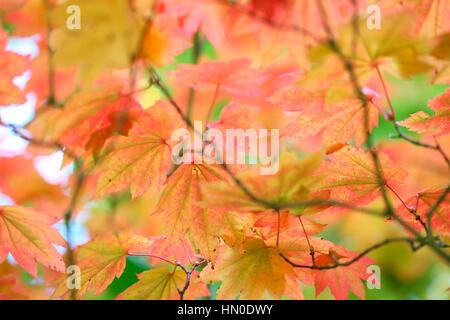 Acer Japonicum Full Moon Maple, changing leaf colour Jane Ann Butler Photography  JABP1829 - Stock Image