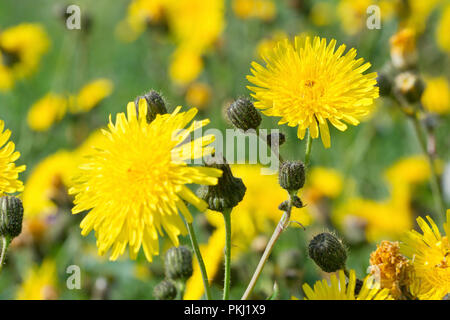 Perennial Sow-thistles (sonchus arvensis), close up of a couple of flowers out of many growing in the corner of a field. - Stock Image