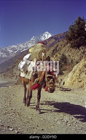 Loaded mule on track up Kali Gandaki world's deepest valley on Annapurna circuit Himalayas Nepal Dhaulagiri peak - Stock Image