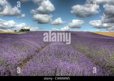 Lavender Field - Stock Image