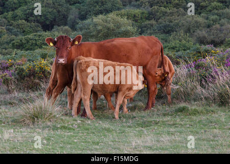 Red Ruby Devon cow suckling calves, free range on Quantock Hills, Somerset. - Stock Image