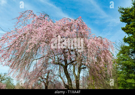 Cherry Blossoms at the Lexington National Cemetery in Lexington Kentucky USA - Stock Image