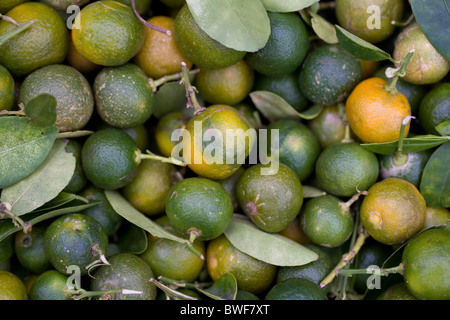 Freshly-picked calamansi at a market in Roxas, Oriental Mindoro, Philippines. - Stock Image