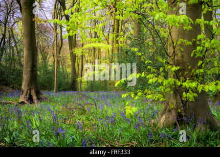 Spring colours. Chiltern Beech woodland near High Wycombe, Buckinghamshire, England, UK - Stock Image