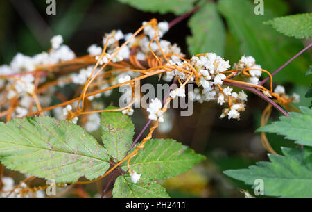 The white flowers and orange stems of Beaked Dodder (cuscuta rostrata) climbing on a plant - Stock Image